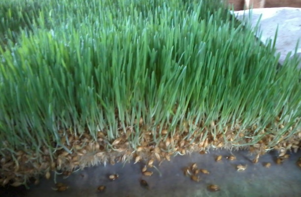 Hydroponic Fodder Solution For Farmers Kaaa