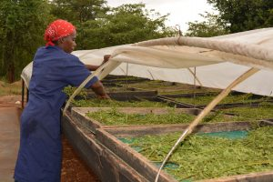 Adding Value to Moringa Oleifera using a solar drier