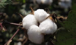 Cotton Image